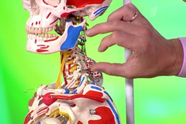 макет скелета