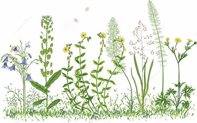рисунок полевых трав